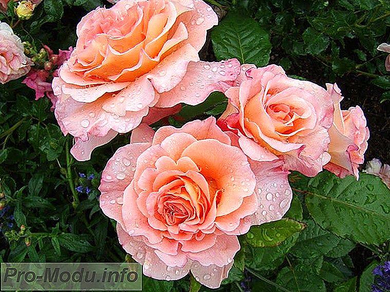 Чайно-гибридные розы: сорта, уход, обрезка