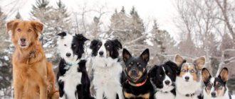 Самые умные породы собак: Рейтинг надежных друзей человека