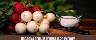Посадка репы и редиса в 2019 году: календарь